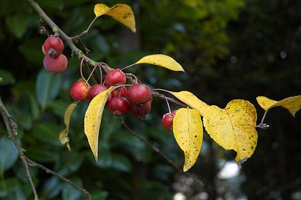 Blog du relais du vert boisplantez des pommiers d 39 ornement - Variete de pommier rustique ...