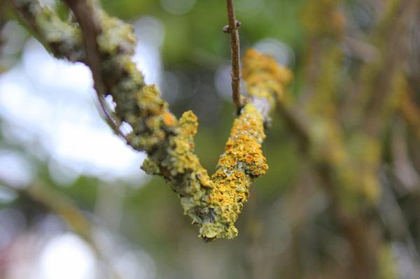 Blog du relais du vert boismysterieux lichens - Mousse sur les arbres ...