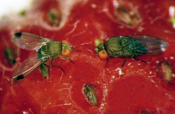 blog du relais du vert boisla mouche qui menace les fruits rouges. Black Bedroom Furniture Sets. Home Design Ideas