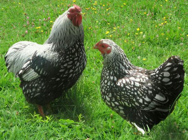 Blog du relais du vert boisoffrir des poules pour r duire for Prix des poules pondeuses
