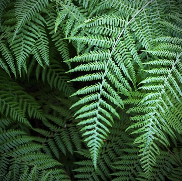 Blog du relais du vert boismyst rieuses foug res for Fougere d interieur plante