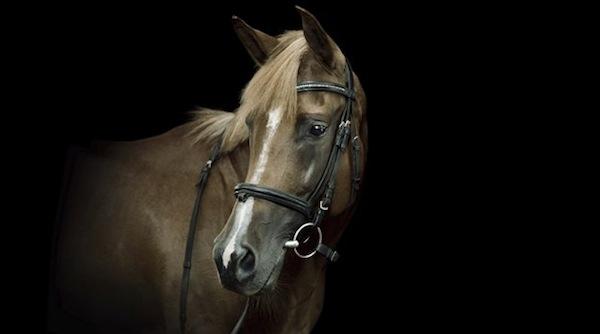 lymphangite cheval fièvre